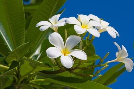 White Frangipani flower at full bloom during summer (plumeria) photo
