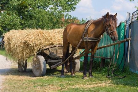 Una mula castaña enganchado a un carro de heno tradicional, Ucrania. Foto de archivo - 14162099