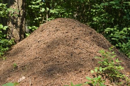 hormiga hoja: El gran hormiguero en un bosque