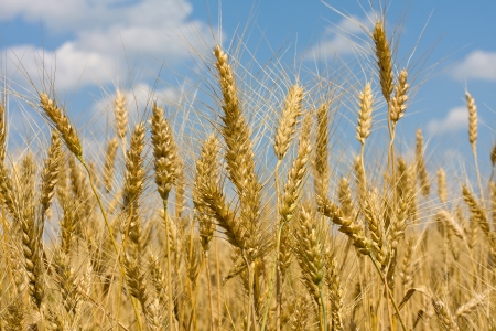 Gold field of wheat against blue sky photo