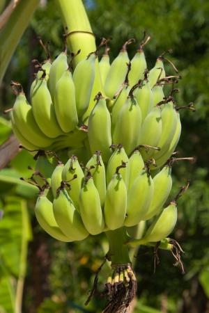 Bananas on a tree, Thailand. photo