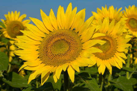 Sunflower field over blue sky in Ukraine Stock Photo - 14626533
