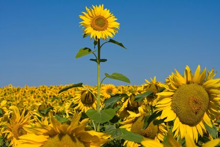 Sunflower field over blue sky in Ukraine photo