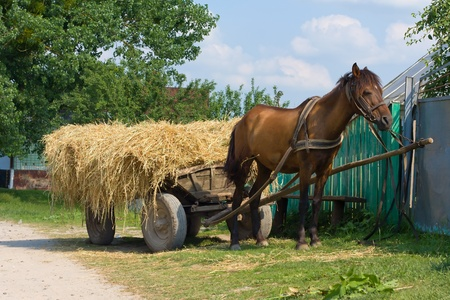 haymaking: A chestnut mule harnessed to a traditional hay cart, Ukraine. Stock Photo