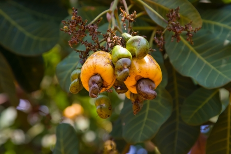cashew tree: Cashew nuts growing on a tree. Stock Photo