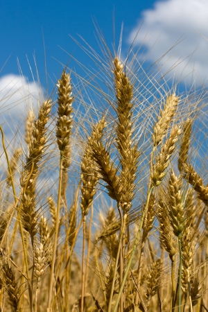 Gold field of wheat against blue sky 스톡 콘텐츠