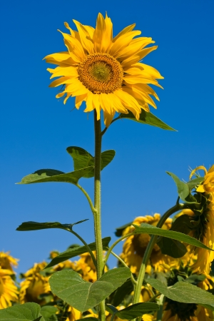 Sunflower field over blue sky in Ukraine Stock Photo - 15526898