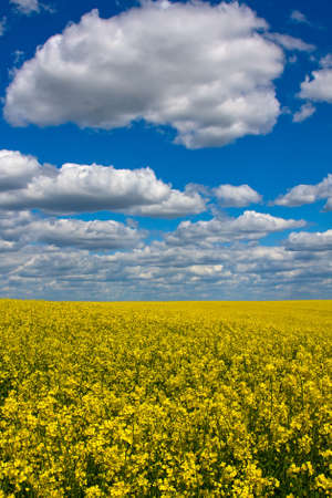 Rapeseed field in Ukraine photo