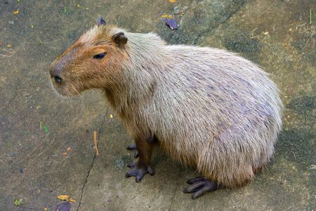 amphibious: Capybara Stock Photo