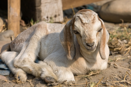 yeanling: White goatling lying on the ground Stock Photo