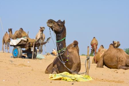 Camels at the Pushkar Fair, Rajasthan, India Stock Photo - 16437568