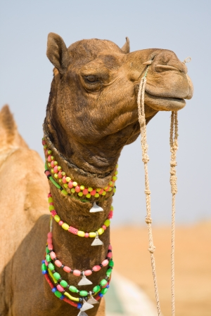 herder: Camel at the Pushkar Fair, Rajasthan, India Stock Photo