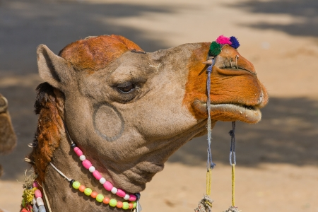 Camel en la Feria de Pushkar (Pushkar Camel Mela) Rajasthan, India photo
