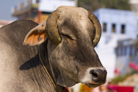 sacramentale: Vacca sacra indiana di fronte alla tipica casa indiana, Varanasi, India