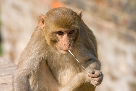 Monkey and chewing gum, India photo