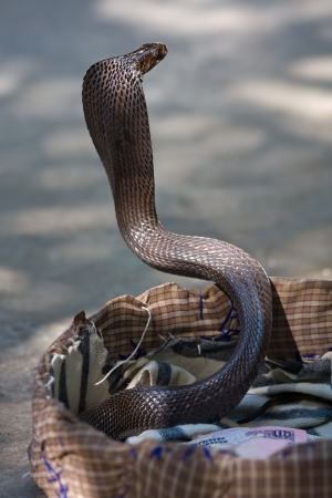 King cobra snake in northern India Stock Photo - 16976391