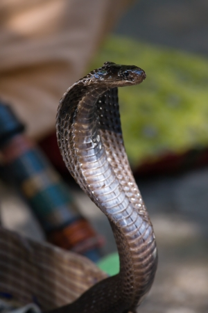 King cobra snake in northern India photo