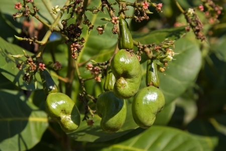 Cashew nuts growing on a tree. This extraordinary nut grows outside the fruit. Stock Photo - 17009910