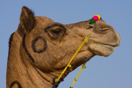 Camel at the Pushkar Fair ( Pushkar Camel Mela ) Rajasthan, India Stock Photo - 17029480