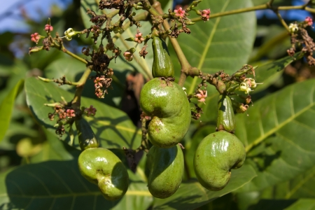 Cashew nuts growing on a tree Stock Photo - 17029444