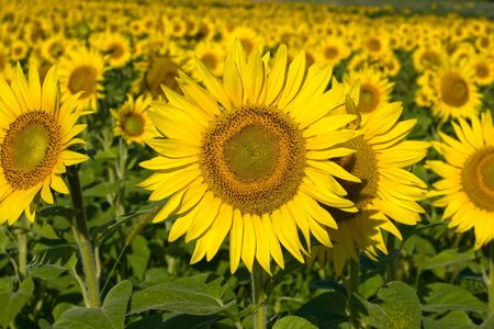 A field of sunflowers, in the south of Ukraine Stock Photo - 17029466