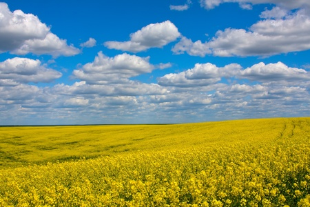 Rapeseed field in Ukraine Stock Photo - 17029471