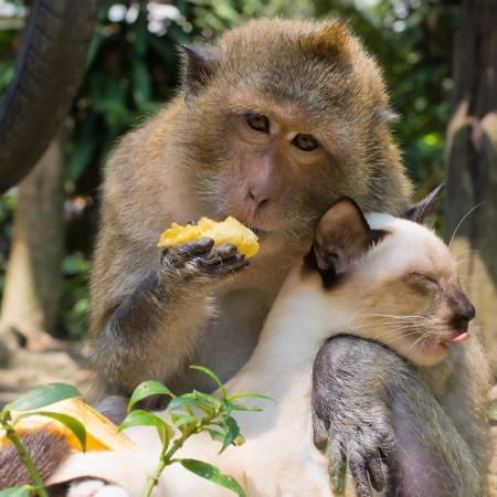 Monkey and domestic cat , Thailand Stock Photo - 17038388