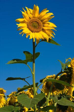 Sunflower field over blue sky in Ukraine Stock Photo - 17043333