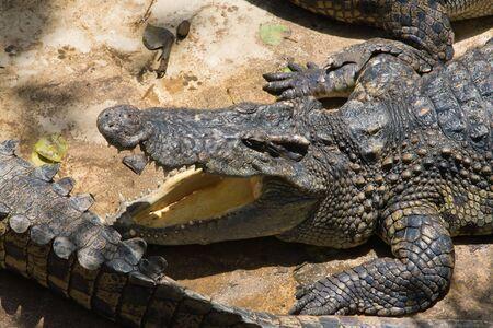 Crocodile Stock Photo - 17043338