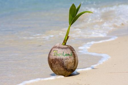 coconut seedlings: Coconut on the beach in Koh Phangan, Thailand