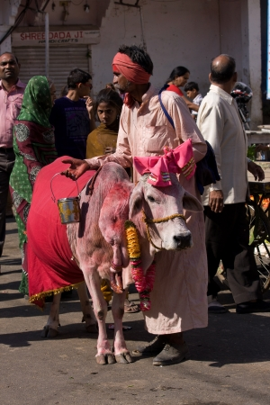 PUSHKAR, INDIA - NOVEMBER 18: Portrait of unidentified old rajasthani Sadhu,wandering hindu monk with holy cow who going to annual camel mela holiday in Pushkar on November 18,2012 in Pushkar,India Stock Photo - 18112009