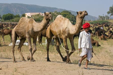 PUSHKAR, INDIA - NOVEMBER 18: Pushkar Camel Mela (Pushkar Camel Fair) on November 18, 2012 in Pushkar, Rajasthan, India. This fair is the largest camel trading fair in the world.