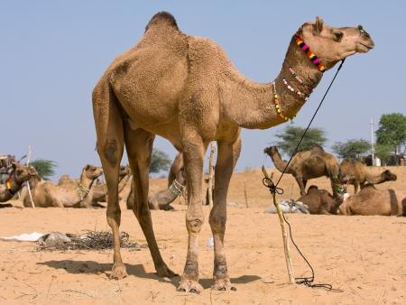 Kameel op de Pushkar Fair (Pushkar Camel Mela) Rajasthan, India