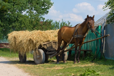 haymaking: A chestnut mule harnessed to a traditional hay cart. Ukraine. Stock Photo