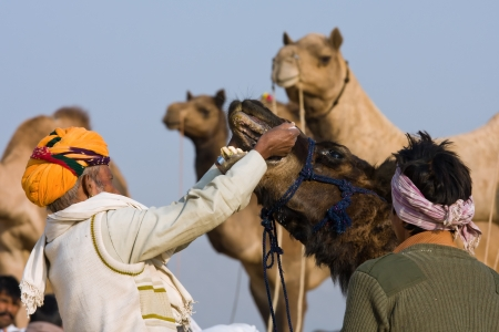 PUSHKAR, INDIA - NOVEMBER 19: Pushkar Camel Mela (Pushkar Camel Fair) on November 19, 2012 in Pushkar, Rajasthan, India. This fair is the largest camel trading fair in the world.