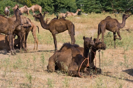 arab beast: Camel at the Pushkar Fair ( Pushkar Camel Mela ) Rajasthan, India