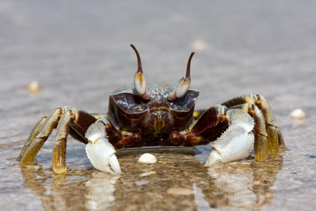 Natural crab on the sand against the sea at beach photo