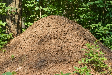 The big ant hill in a woods photo