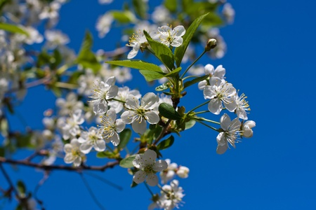 luxuriant: Branches of a blossoming apple tree against the blue sky