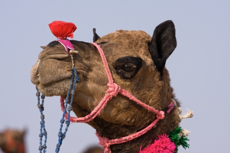 herder: Camel at the Pushkar Fair ( Pushkar Camel Mela ) Rajasthan, India