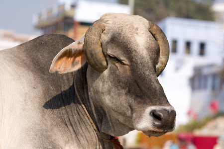 india cow: Indian holy cow in front of the typical Indian house, Varanasi, India
