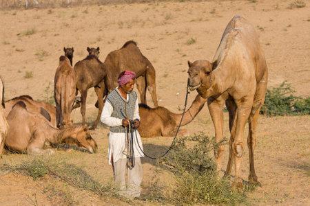 PUSHKAR, INDIA - NOVEMBER 23,2012 : Pushkar Camel Mela ( Pushkar Camel Fair ) in Pushkar, Rajasthan, India. This fair is the largest camel trading fair in the world.