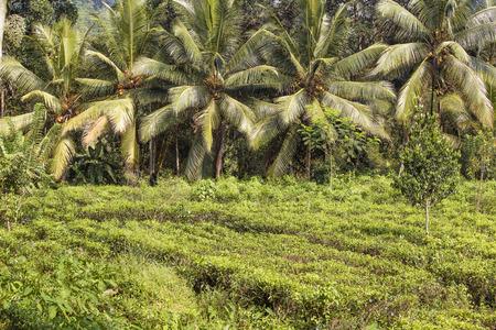 Fresh tea plantation and coconut palm tree photo