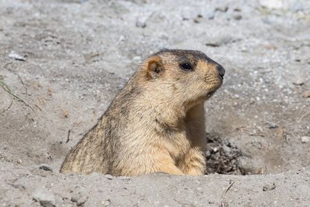 burrow: Funny marmot peeking out of a burrow in Ladakh, India Stock Photo