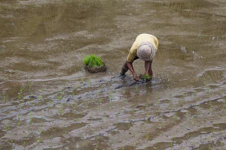 trabajando duro: Granjero que trabaja duro en los campos de arroz en Bali. Indonesia