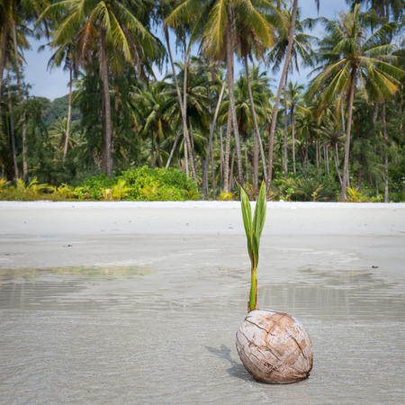 coconut seedlings: Coconut sprout on the tropical sea beach