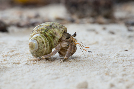 Hermit crab in the shell of a snail