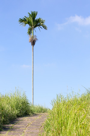 walking trail: Lonely palm tree near walking trail in Ubud, Bali, Indonesia Stock Photo