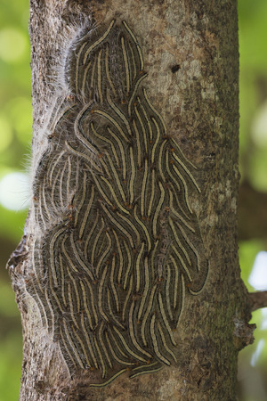 worm infestation: Oak processionary moth - Thaumetopoea processionea caterpillars on the tree in summer