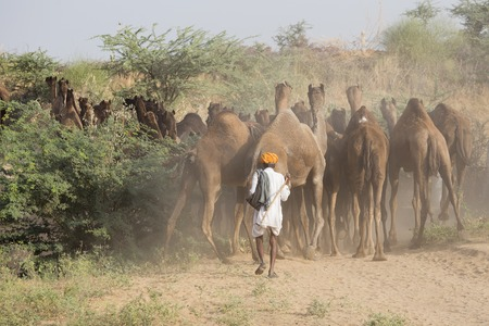 indian fair: Indian men and camels attended the annual Pushkar Camel Mela. This fair is the largest camel trading fair in the world.